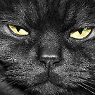 Black smoke Scottish shorthair cat - Cilla by Joanne Emery