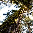 Sequoia Trees by sscearce
