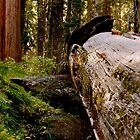 Sequoia National Park by sscearce