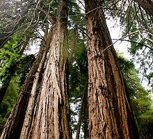 John Muir Woods by sscearce