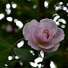 Pink rose by Phrancis Whiteley