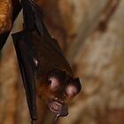 Roundleaf Bat by naturalnomad