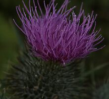 Purple bristles by Oceanna Solloway