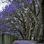 jacarandas in bloom ii by gary roberts