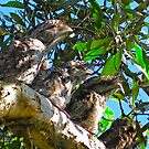 CAMOUFLAGE (doing the stick thing) - Tawny Frogmouth Family (2010)Camouflage (doing the stick thing) by Neil Ross