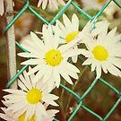 Flowers in the fence.... by DDLeach