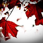 Red Maple Leaves, Autumn by pixel8it