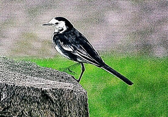 Fractalius Pied Wagtail by Trevor Kersley