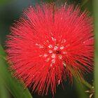 Red Powderpuff by Don Rankin