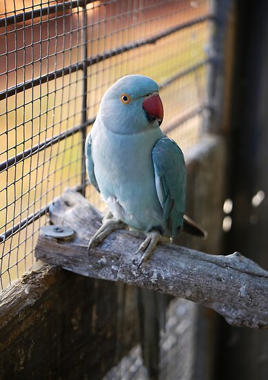 Parrots, Indian and Blue on Pinterest