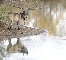 Reflections of a wolf by Anthony Brewer
