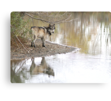 Reflections of a wolf Canvas Print