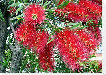 Callistemon by Margaret  Hyde