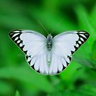 White Butterfly by aditya sakha  kusuma
