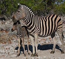 Zebra and Colt by naturalnomad