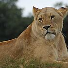 Lioness at woburn by Ian Salter