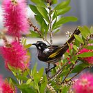 getting a little sweet nectar from the bottlebrush by janfoster