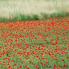 River of Poppies-Monterosi, Italy by Deborah Downes