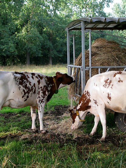 Cows by Sanne Thijs