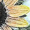 Black Eyed Susan - Blank Greeting Card by Marcia Rubin
