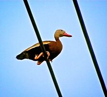 Duck on a high line by Ann Reece