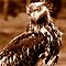 Young Bald Eagle by Gail Bridger