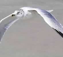 Sea Gull Flying Low by Paulette1021