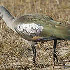 Hadeda ibis by jozi1