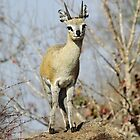 Klipspringer in classic pose! by jozi1