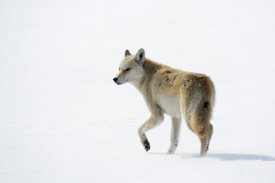 Coyote on Ice - Wolfe Island, Ontario by Stephen Stephen