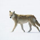 On the Run - Coyote, Wolfe Island, Ontario by Stephen Stephen