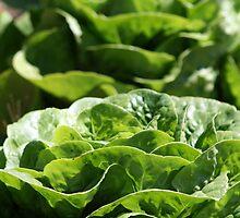Decorative Lettuce by Joanne Emery