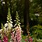 Foxgloves in Cottage Garden by Gabrielle  Lees