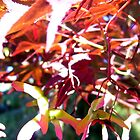 Sunlight thru Japanese Maple  by Lorrie Davis