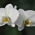 World of Orchids  Plate # 31 by Matsumoto