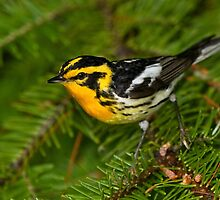 Blackburnian Warbler strikes a pose. by Daniel Cadieux