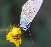 Butterfly on flower by PeterBez