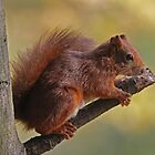Red Squirrel up a tree by Hugh J Griffiths