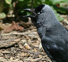 Jackdaw in the Lost Gardens of Heligan by Joanne Emery