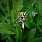 Hungry Garden Spider by Reese Ferrier