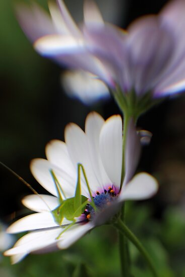 Grasshopper on White Daisy by yolanda