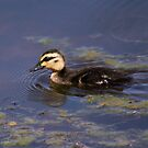 on the hunt ... Pacific Black Duck by mosaicavenues