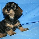 Miniature Wire Haired Dachshund Puppy -  by Joanne Emery