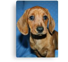 Mini smooth dachshund puppy Canvas Print