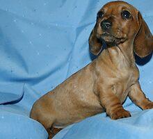 Mini smooth dachshund puppy by Joanne Emery