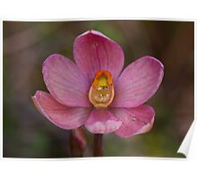 Thelymitra rubra Salmon Sun-orchid Poster