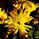 Chrysanthemums #1 by Timothy Wilkendorf