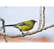 A Belbird. Gore, South Island, New Zealand. Photographic Print