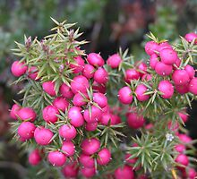 Pink Mountain Berries, Cradle Mountain, Tasmania, Australia. by kaysharp