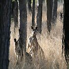 Kangaroos on Alert in the Bush by aussiebushstick